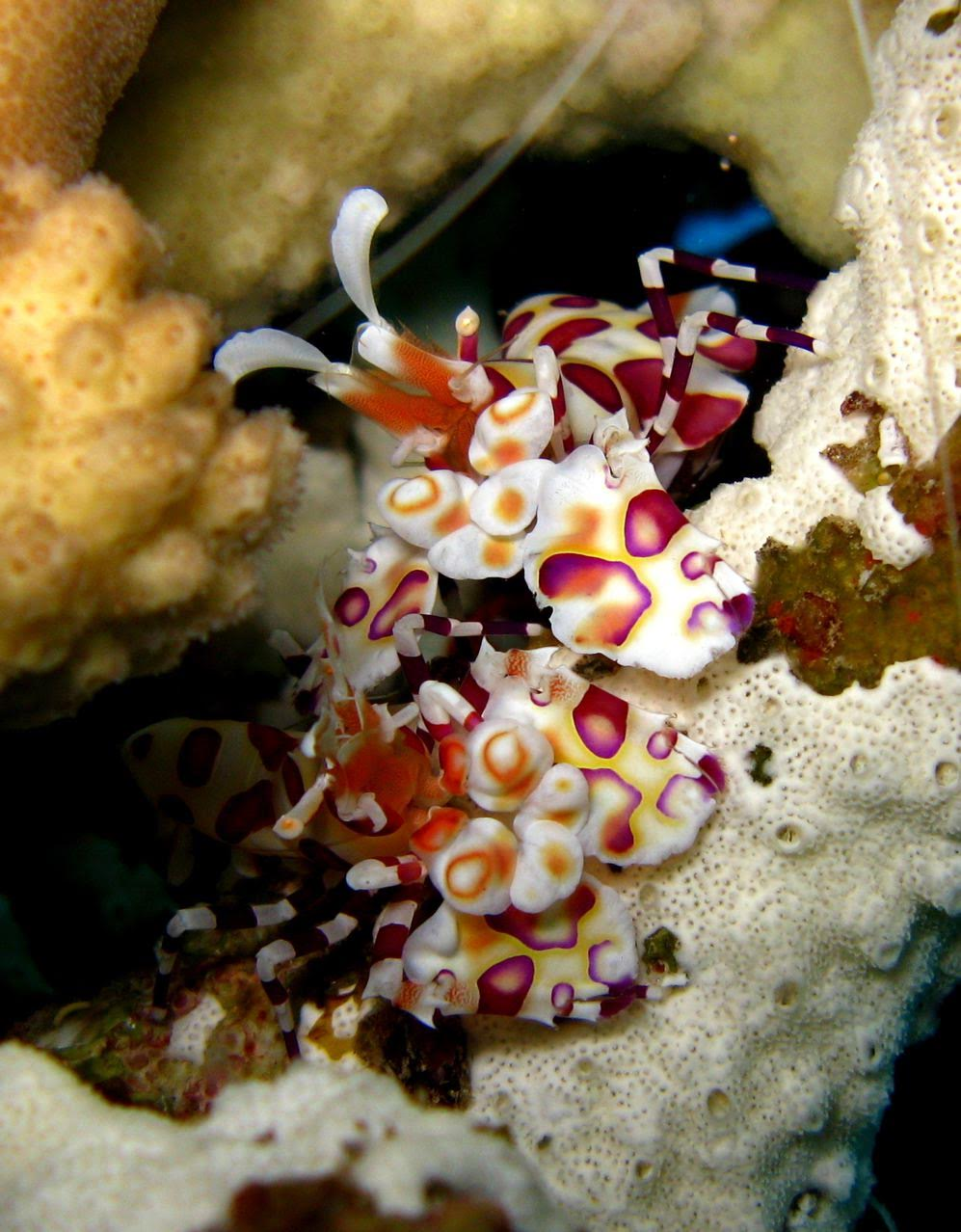 5 Caves – Harlequin Shrimp