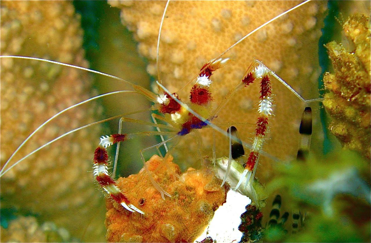 5 Caves – Cleaner Shrimp