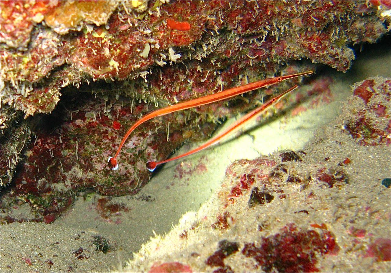 5 Caves – Keeltail Needlefish