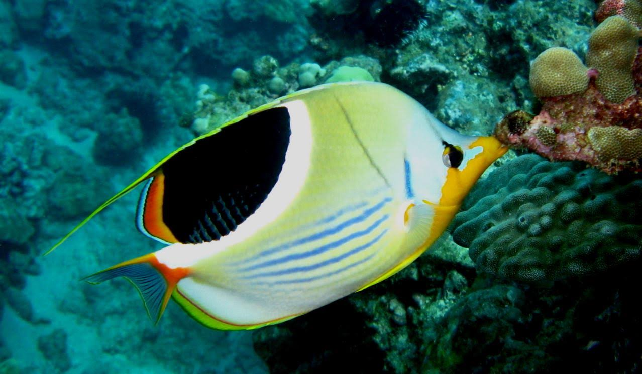 5 Caves – Saddleback Butterflyfish