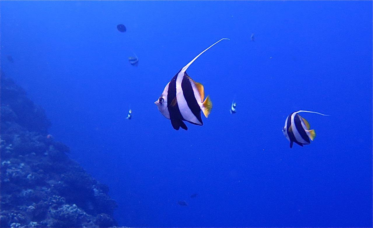 Molokini Crater Backwall – Pennant Fish (Kihi Kihi)