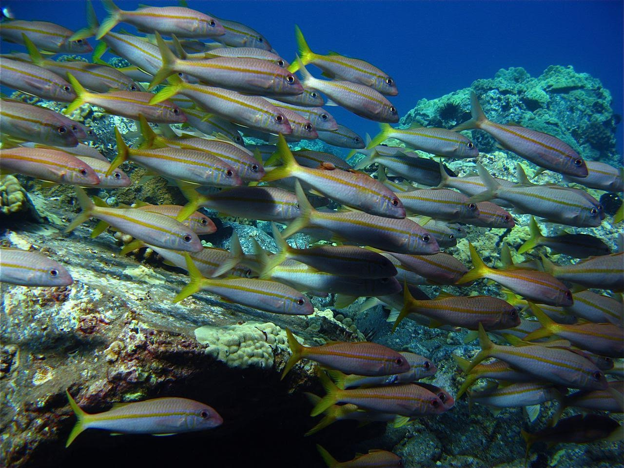 Molokini Crater Backwall – Yellowfin Goatfish