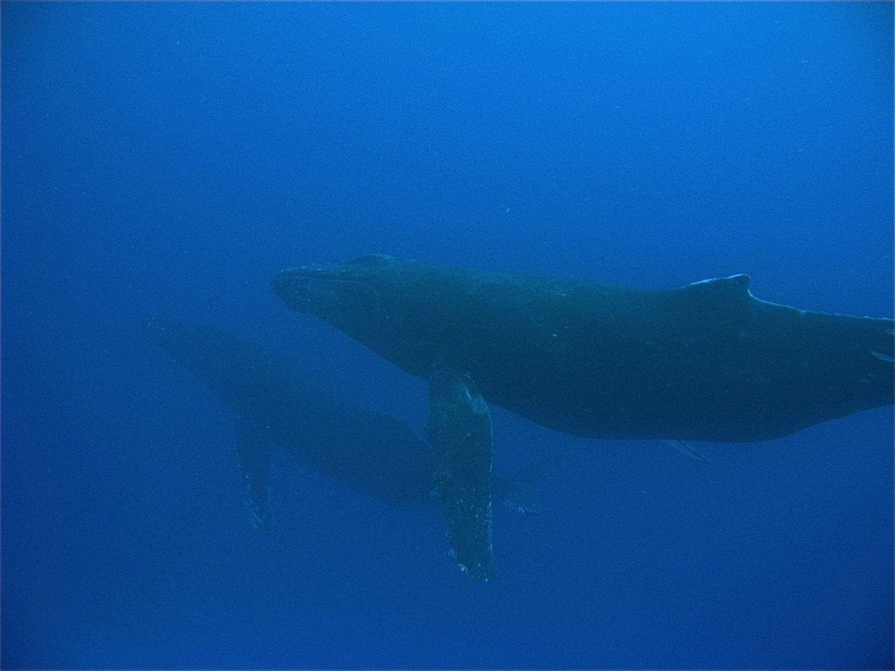 Humpback Whale – Mama and Baby