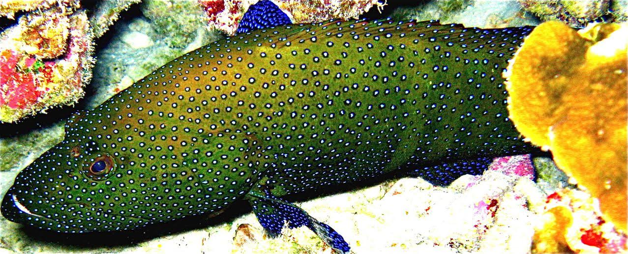Center Reef- Blue Spotted Grouper