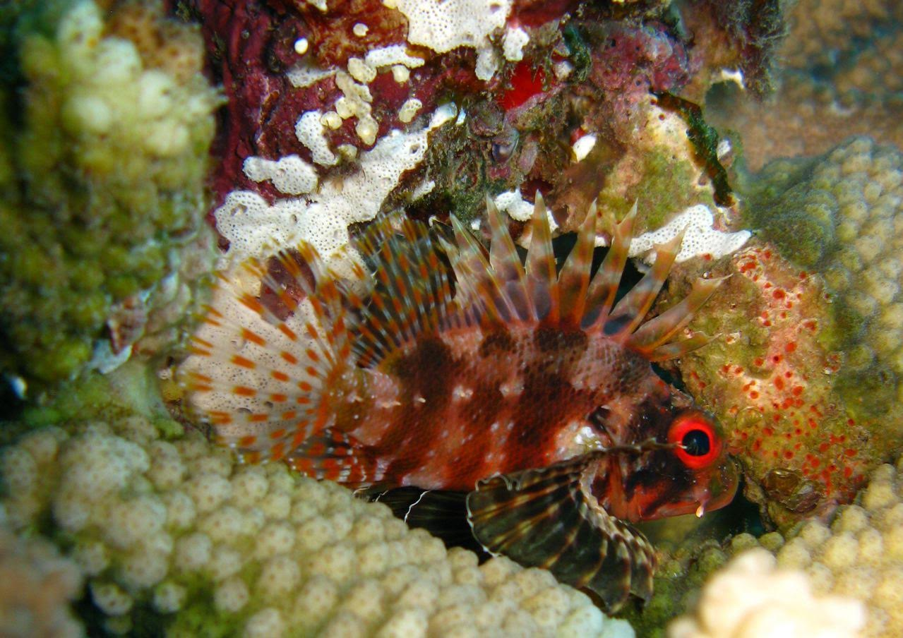 Center Reef – Hawaiian Lionfish
