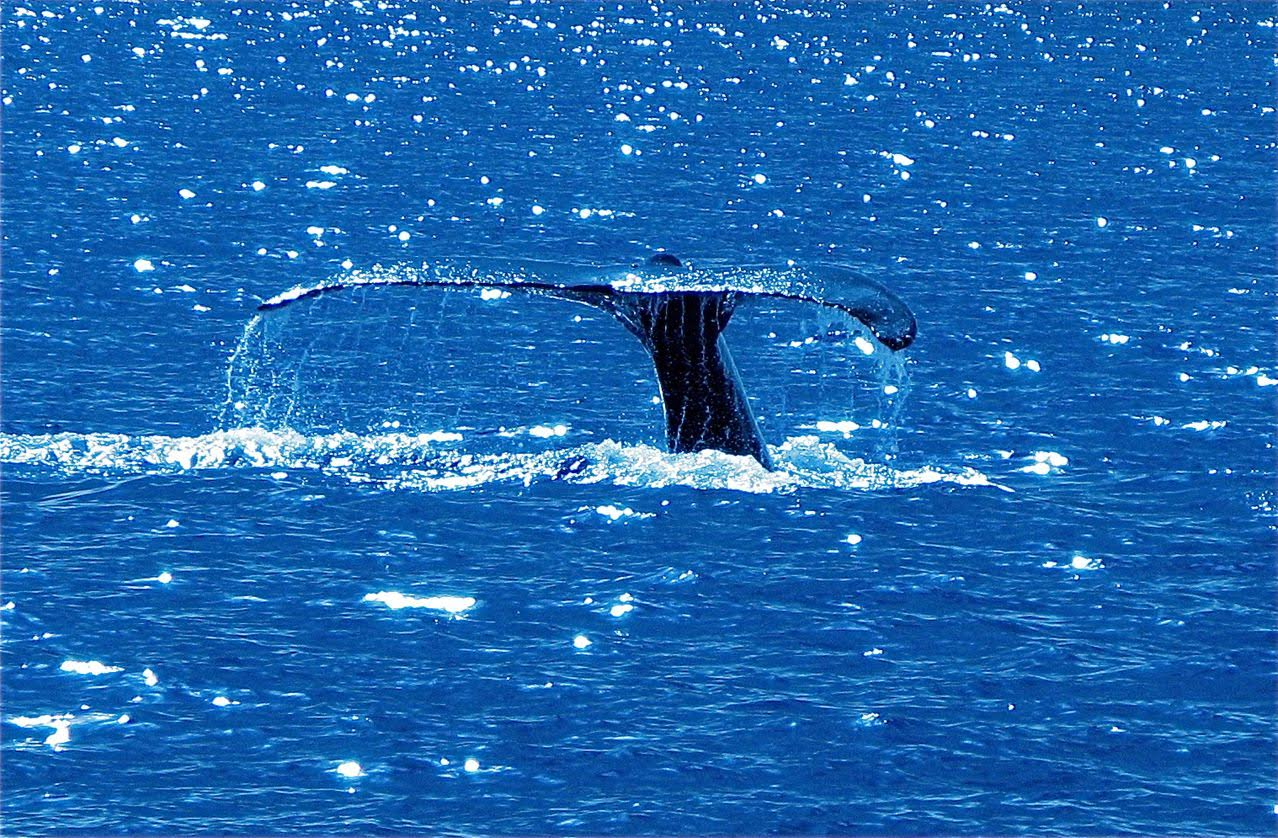Humpback Whale – Tail Slap