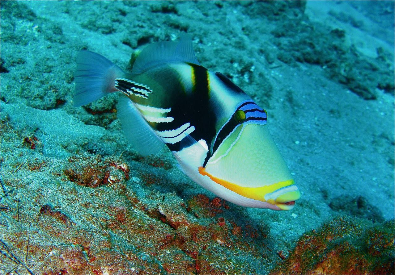 Center Reef – Picasso Triggerfish