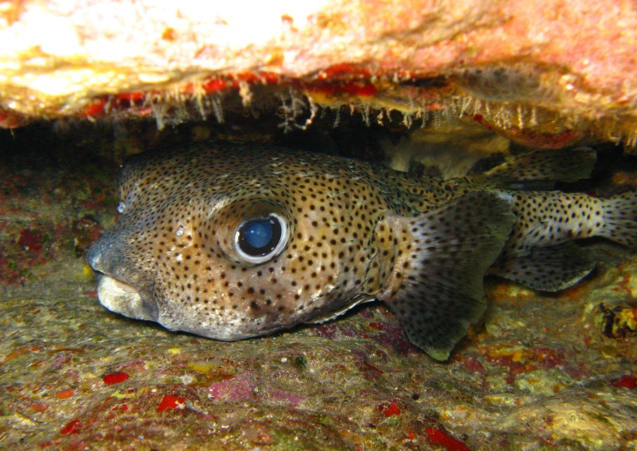 Center Reef – Porcupinefish