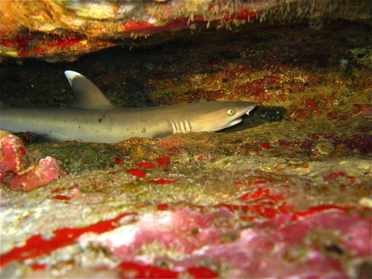 Center Reef – White Tip Reef Shark