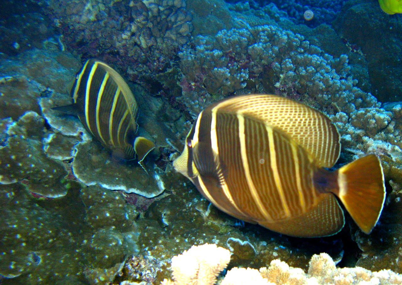 Center Reef – Sailfin Tang