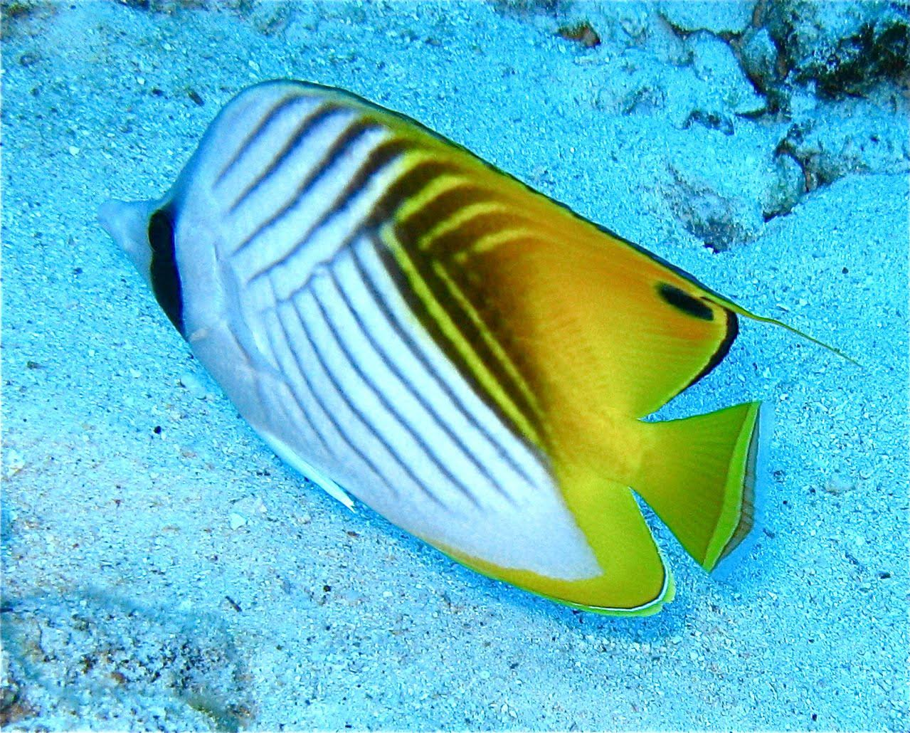 Center Reef – Threadfin Butterflyfish