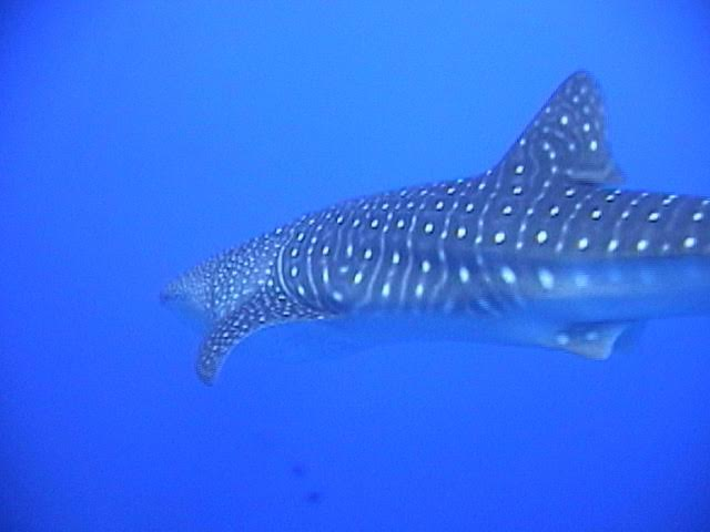 Center Reef – Whale Shark