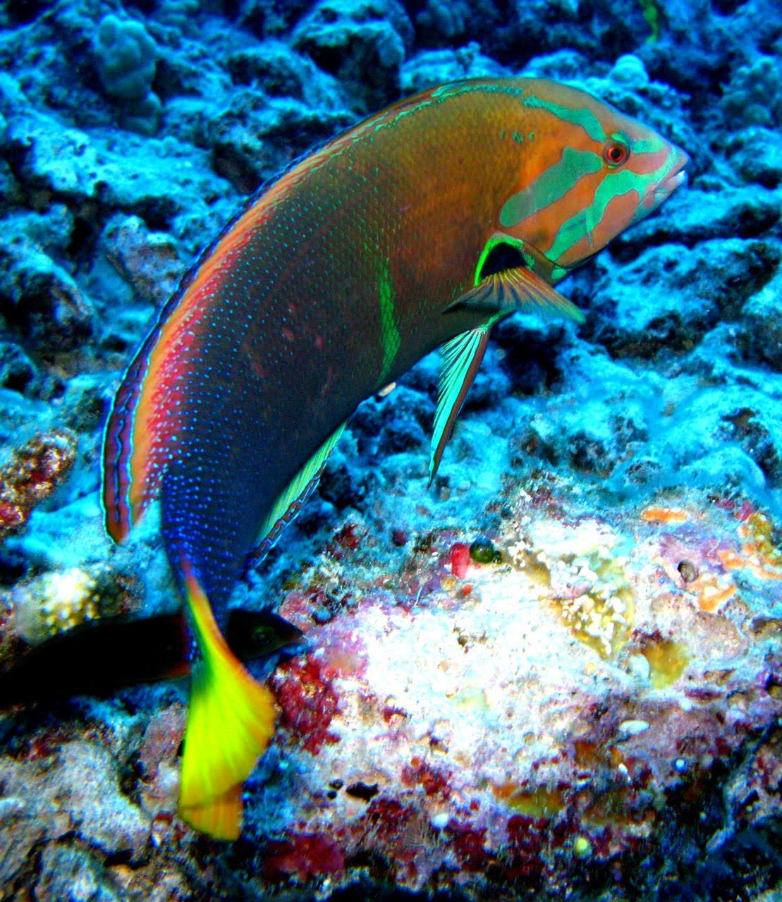 Center Reef – Wrasse