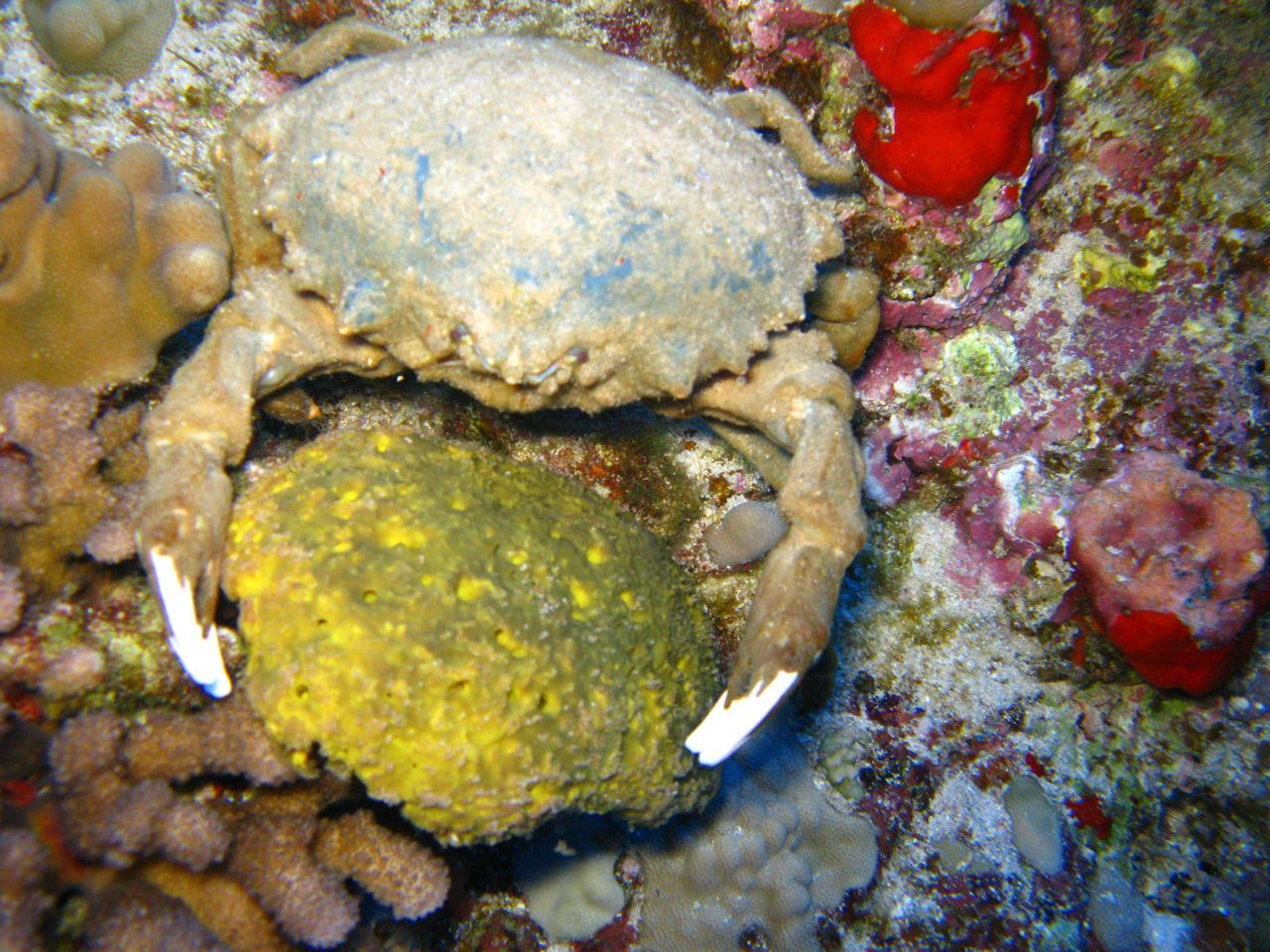 Molokini Crater Enenue – Crab