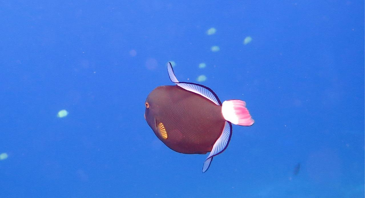 Molokini Crater Enenue – Pinktail Triggerfish