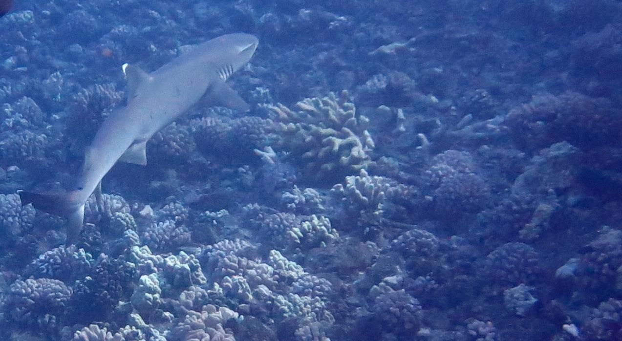 Molokini Crater Enenue – White Tip Reef Shark