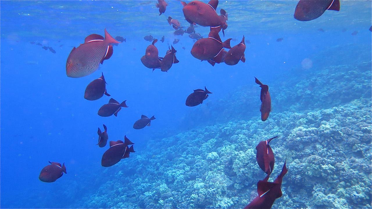 School of Pinktail Triggerfish