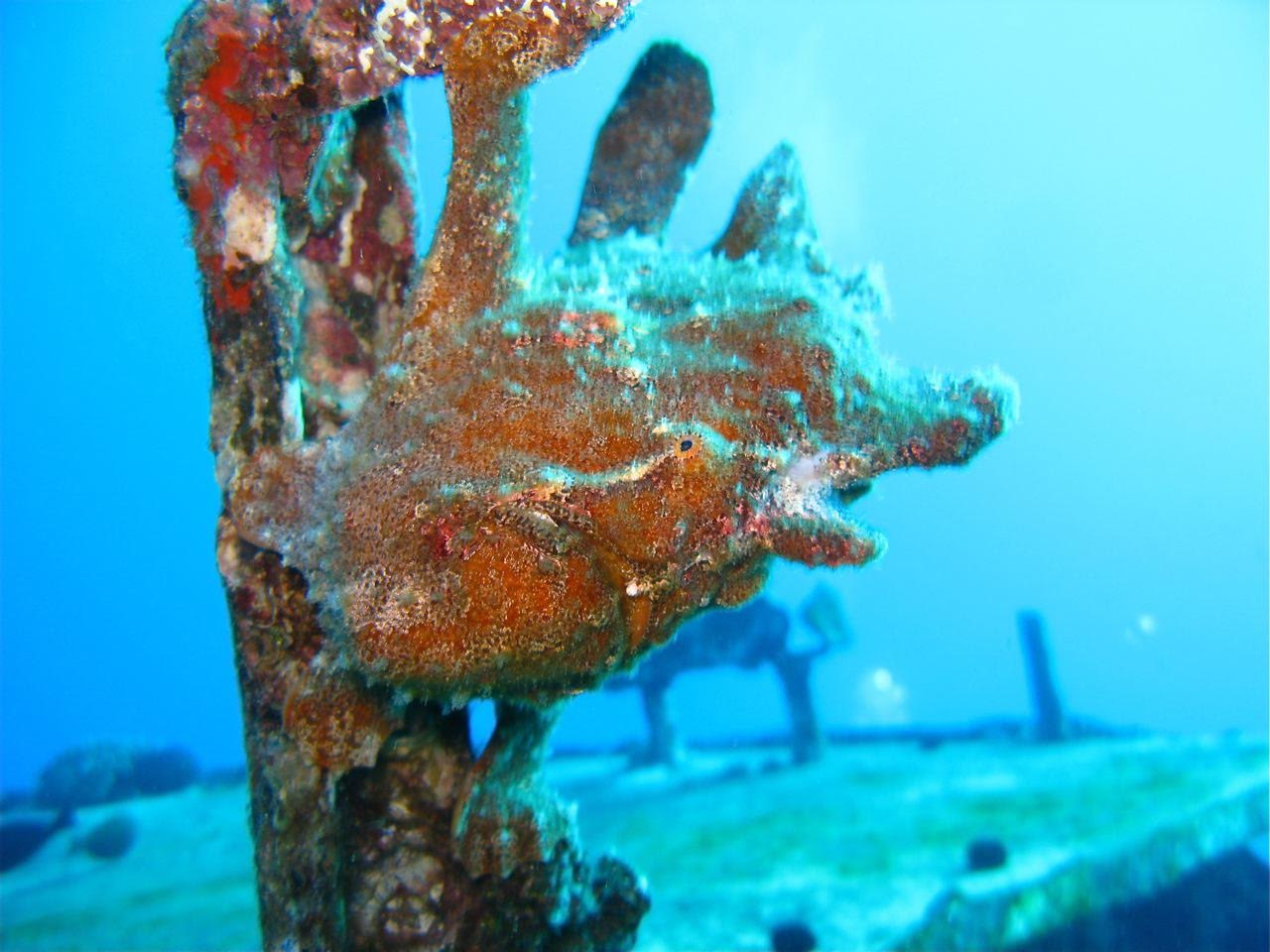 St. Anthony's Wreck – Frogfish